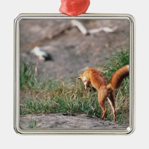 Red Fox, Vulpes vulpes, Alaska Peninsula, 3 Christmas Tree Ornaments