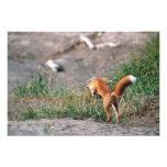 Red Fox, Vulpes vulpes, Alaska Peninsula, 3 Photo