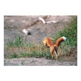 Red Fox, Vulpes vulpes, Alaska Peninsula, 3 Photo Print