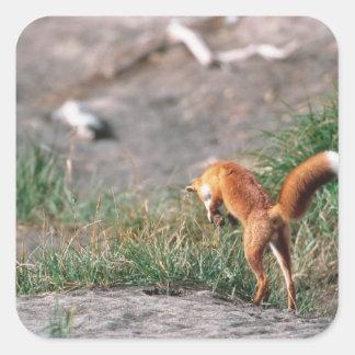 Red Fox, Vulpes vulpes, Alaska Peninsula, 3 Sticker