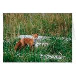 Red Fox, Vulpes vulpes, Alaska Peninsula, Greeting Card