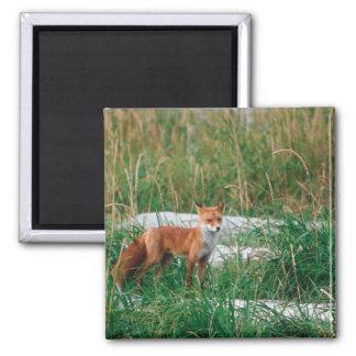 Red Fox, Vulpes vulpes, Alaska Peninsula, Magnet