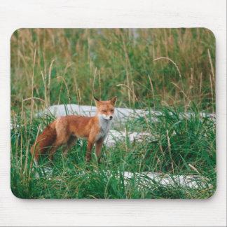 Red Fox, Vulpes vulpes, Alaska Peninsula, Mouse Pad