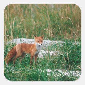 Red Fox, Vulpes vulpes, Alaska Peninsula, Square Sticker