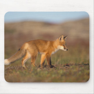 red fox, Vulpes vulpes, along the central Mouse Pad