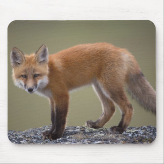 red fox, Vulpes vulpes, along the central North 2 Mouse Pad