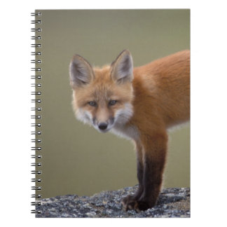 red fox, Vulpes vulpes, along the central North 2 Notebook