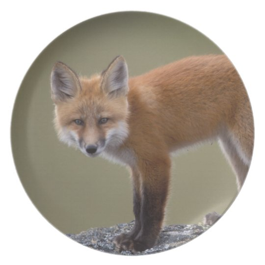 red fox, Vulpes vulpes, along the central North 2 Plate