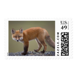 red fox, Vulpes vulpes, along the central North 2 Postage Stamps