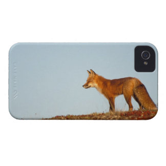red fox, Vulpes vulpes, along the central North Blackberry Bold Covers