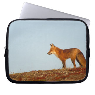red fox, Vulpes vulpes, along the central North Computer Sleeve