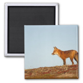 red fox, Vulpes vulpes, along the central North Magnet
