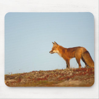 red fox, Vulpes vulpes, along the central North Mouse Pad