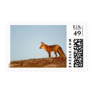 red fox, Vulpes vulpes, along the central North Postage