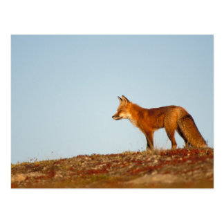 red fox, Vulpes vulpes, along the central North Postcard