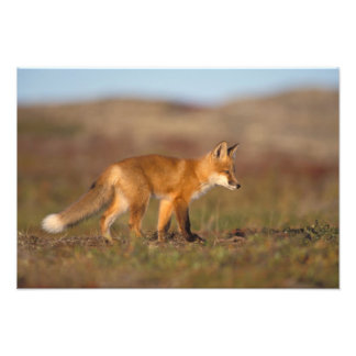 red fox, Vulpes vulpes, along the central Photographic Print