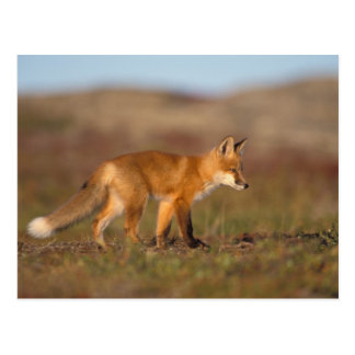 red fox, Vulpes vulpes, along the central Postcard