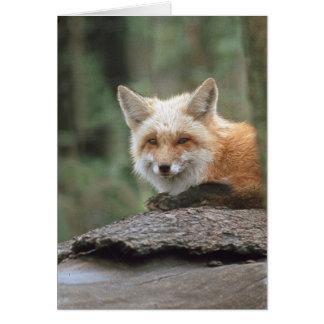 Red Fox (Vulpes vulpes) Card