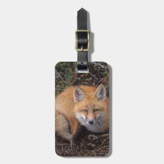 red fox, Vulpes vulpes, in fall colors along Bag Tag