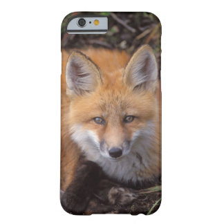 red fox, Vulpes vulpes, in fall colors along iPhone 6 Case