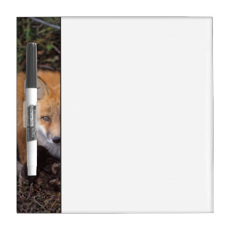 red fox, Vulpes vulpes, in fall colors along Dry Erase Board