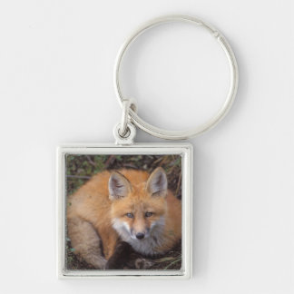 red fox, Vulpes vulpes, in fall colors along Keychain