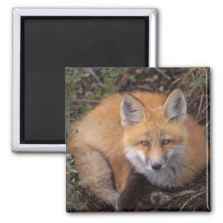 red fox, Vulpes vulpes, in fall colors along Magnet
