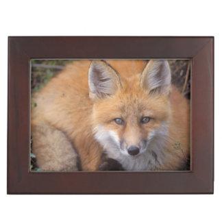 red fox, Vulpes vulpes, in fall colors along Memory Box