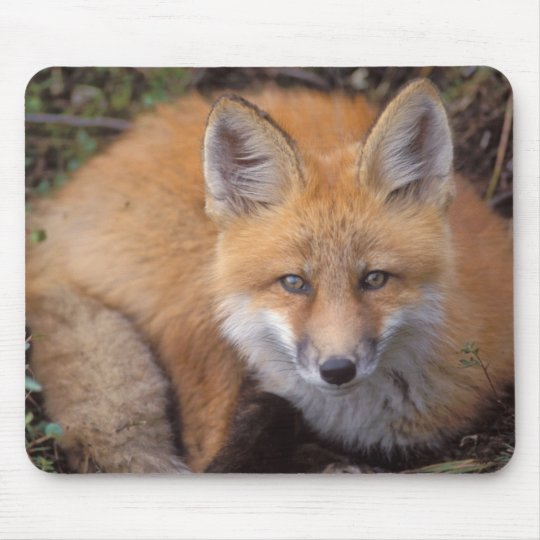 red fox, Vulpes vulpes, in fall colors along Mouse Pad