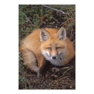 red fox, Vulpes vulpes, in fall colors along Photo Print