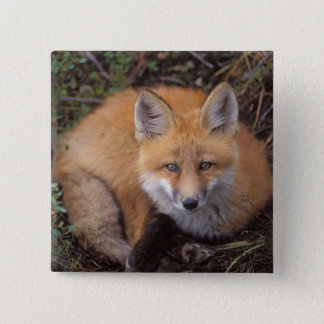 red fox, Vulpes vulpes, in fall colors along Pinback Button