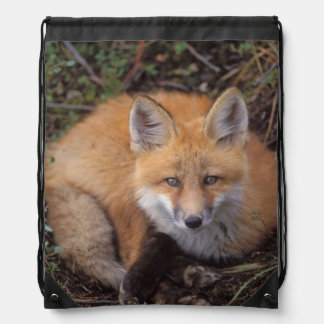 red fox, Vulpes vulpes, in fall colors along Drawstring Backpacks