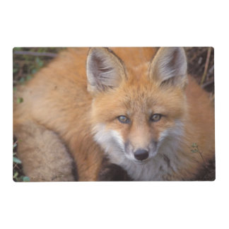 red fox, Vulpes vulpes, in fall colors along Placemat