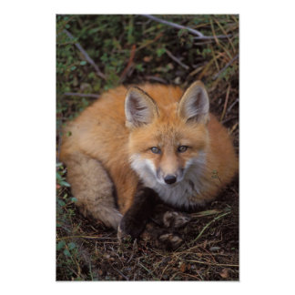 red fox, Vulpes vulpes, in fall colors along Print