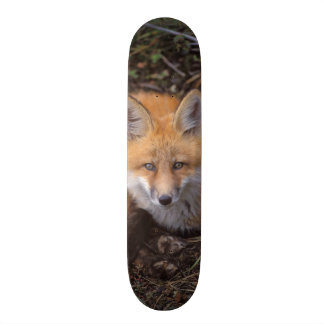 red fox, Vulpes vulpes, in fall colors along Skateboard Deck