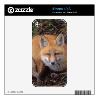 red fox, Vulpes vulpes, in fall colors along Skins For The iPhone 4