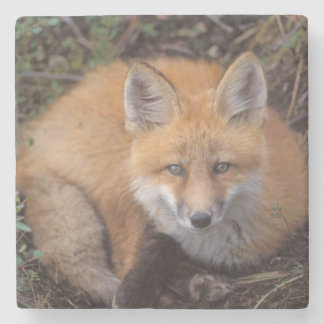 red fox, Vulpes vulpes, in fall colors along Stone Coaster