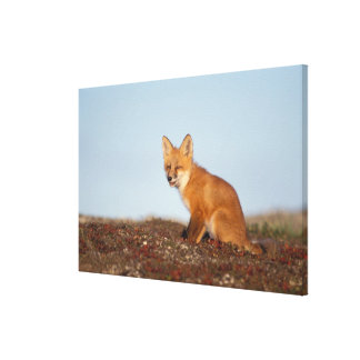 red fox, Vulpes vulpes, in fall colors along the 2 Gallery Wrap Canvas