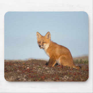 red fox, Vulpes vulpes, in fall colors along the 2 Mouse Pad