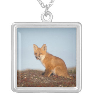 red fox, Vulpes vulpes, in fall colors along the 2 Pendant