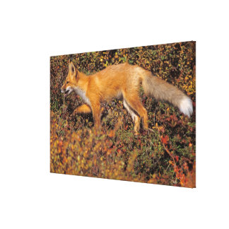 red fox, Vulpes vulpes, in fall colors along the 3 Gallery Wrapped Canvas