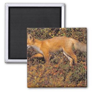 red fox, Vulpes vulpes, in fall colors along the 3 Fridge Magnets
