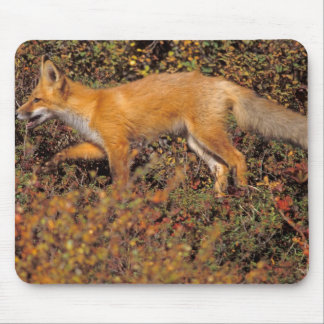 red fox, Vulpes vulpes, in fall colors along the 3 Mouse Pad