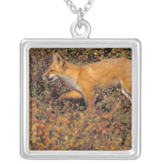 red fox, Vulpes vulpes, in fall colors along the 3 Necklaces