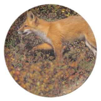 red fox, Vulpes vulpes, in fall colors along the 3 Dinner Plates