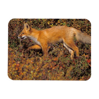 red fox, Vulpes vulpes, in fall colors along the 3 Magnet