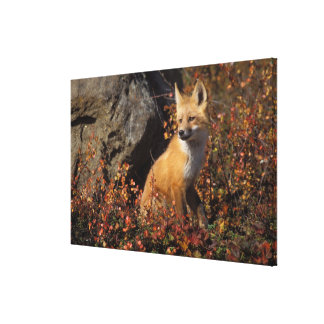 red fox, Vulpes vulpes, in fall colors along the 4 Stretched Canvas Prints