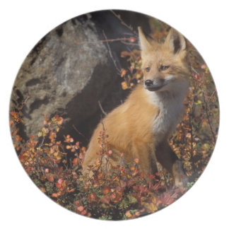red fox, Vulpes vulpes, in fall colors along the 4 Melamine Plate