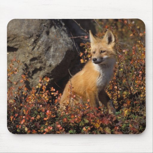 red fox, Vulpes vulpes, in fall colors along the 4 Mouse Pads