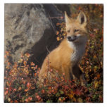 red fox, Vulpes vulpes, in fall colors along the 4 Large Square Tile
